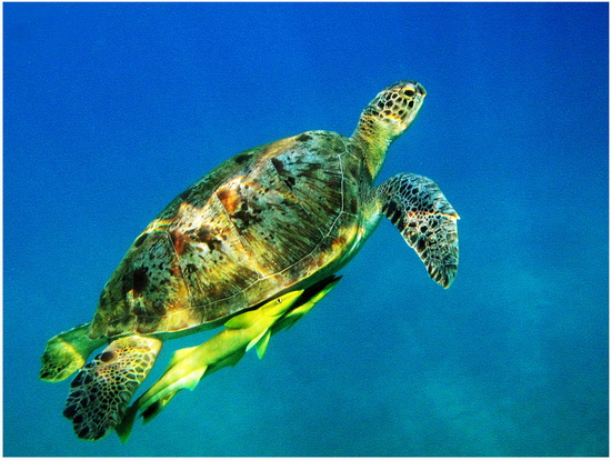 Морская черепаха бисса и рыба